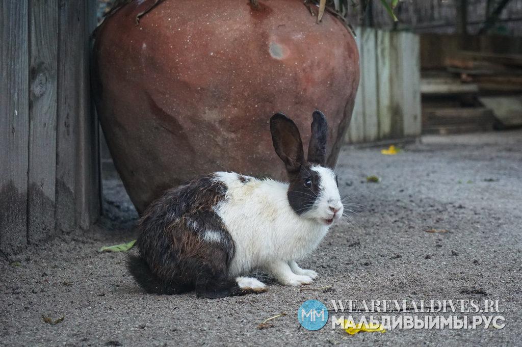 Кролик на острове Soneva Fushi
