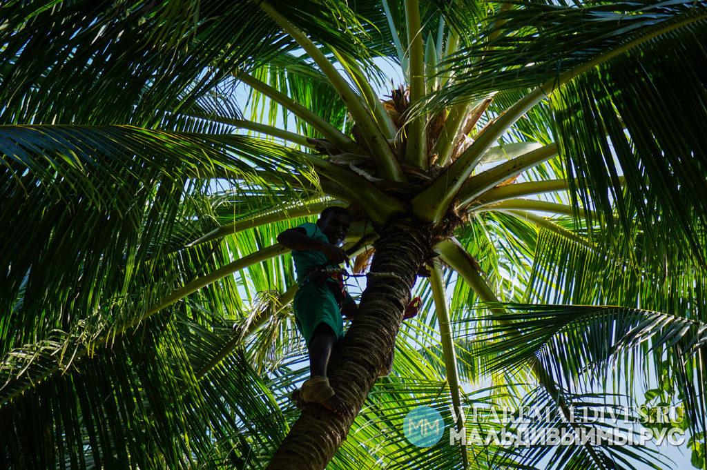 Сбор кокосов в отеле на Мальдивах