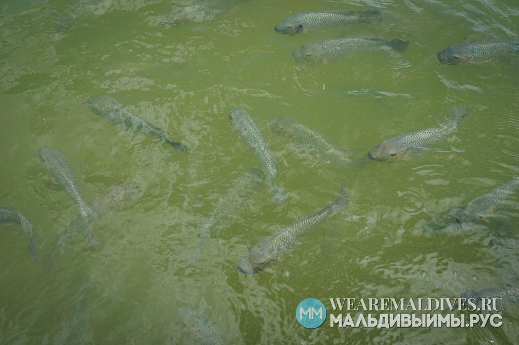 Персноводные рыбы на Мальдивах